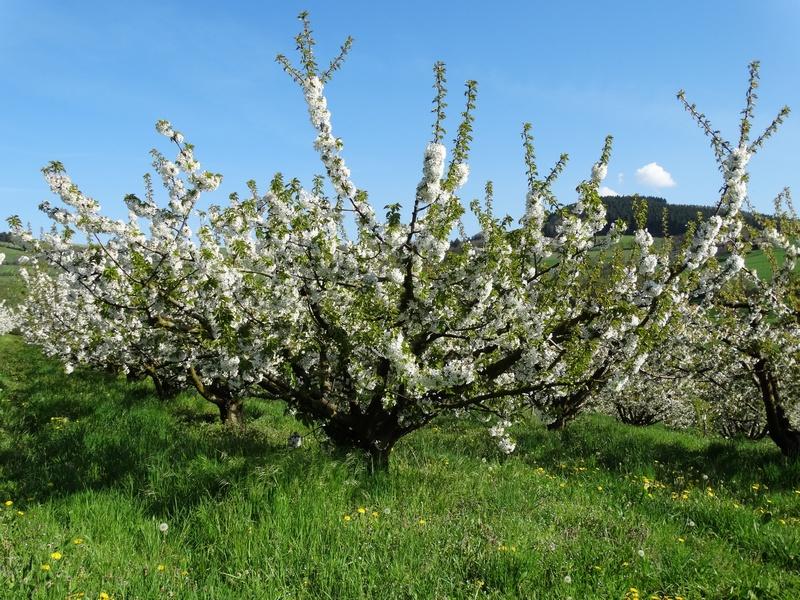 Floraison des cerisier
