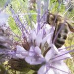 Abeille butinant une fleur de la jachère fleurie
