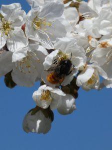 Abeilles butinant des fleurs de cerisiers