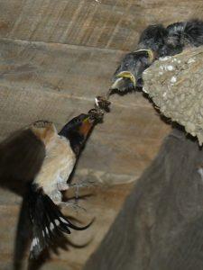 Hirondelle donnant à manger à ses petits