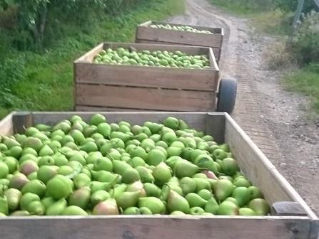 La récolte des poires aux Vergers de bayol